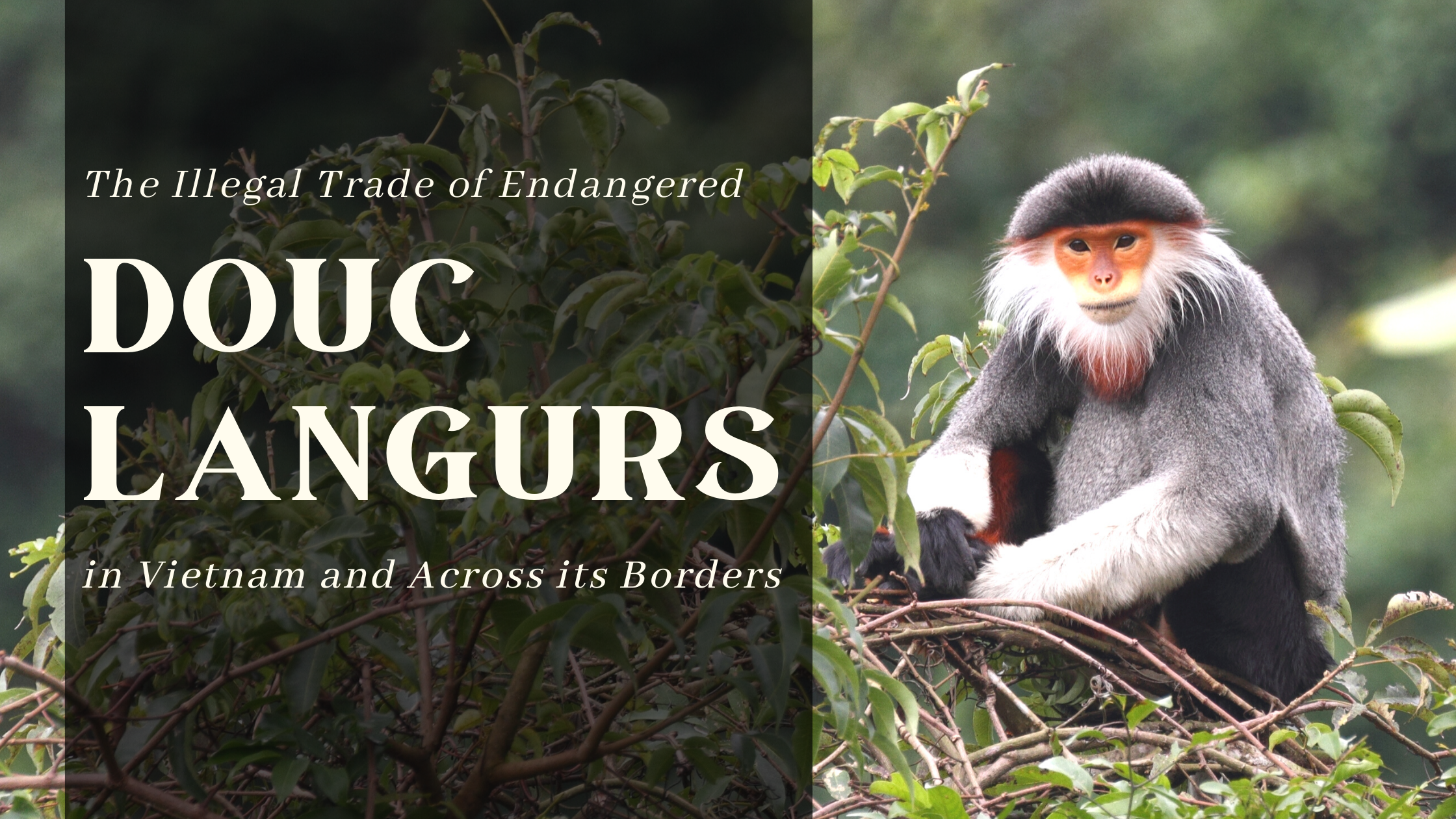 The Illegal Trade of Endangered Douc Langurs in Vietnam and Across its Borders